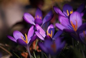 Colorful crocus flowers blossom in spring