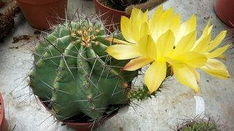 cactus in a flower pot with a yellow flower