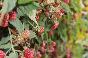 unripe raspberries on a bush
