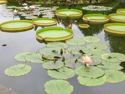 water lilies in a large pond