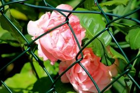 pink flowers behind a wire fence