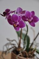 Purple orchid in a pot