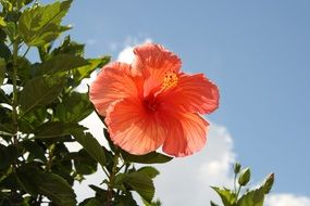 Red hibiscus flower on a green bush against the sky