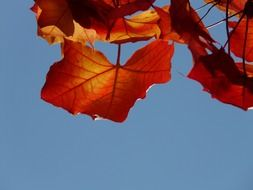 red leaves on clear sky background