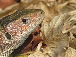 green lizard reptile head close