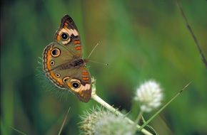 brown butterfly with spots on flowering plant