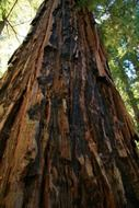 redwood ancient giant trees ecology california