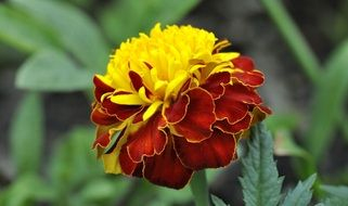 red yellow carnation flower blossom garden