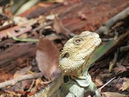 head of green lizard close up, australia