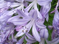 Light purple agapanthus flowers
