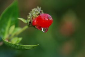 rain drop on red berry, macro