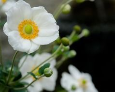 splendiferous white poppy flowers