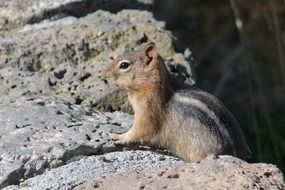 chipmunk animal
