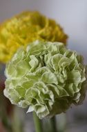 tender ranunculus flower close