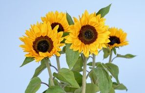 Yellow sunflower plants