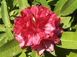 bright pink rhododendron