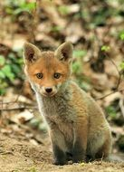beautiful and delightful small fox
