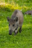 animal boar mammal wildlife