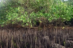 mangrove trees with breathing roots