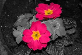 Red primroses flowers in pot