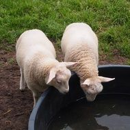 two lambs drinking water