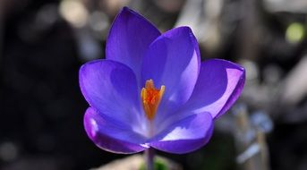 violet crocus flower blooming close