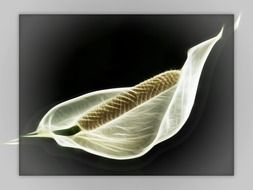 Spathiphyllum on a dark background in a gray frame