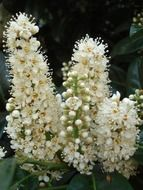 White chestnut blossoms