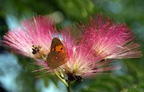 butterfly on a fluffy pink flower