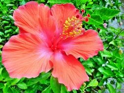 pink hibiscus with yellow pollen in a tropical garden