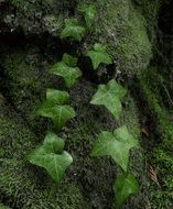 green climbing plant on green stones close-up