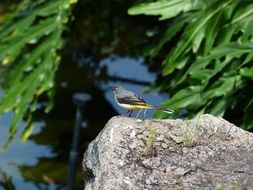 perched grey wagtail in wildlife