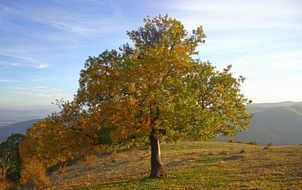 lonely autumn tree on hill scene