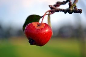 delicious red apple on the branch