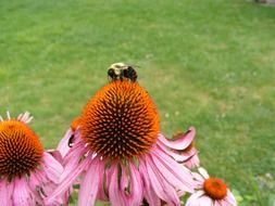insect on pink echinacea
