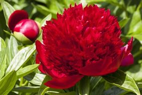 red peony double flower