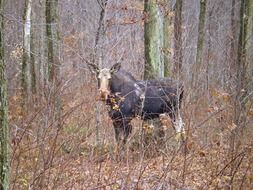 wild moose in the forest