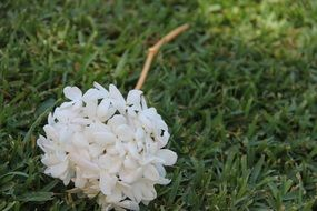 white blooming jasmine on a green lawn