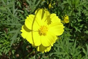 yellow bright cosmos on a green bush