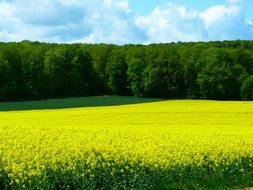 magnificent field of rapeseeds