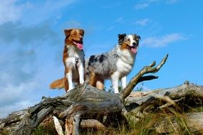 two australian shepherd dogs in nature