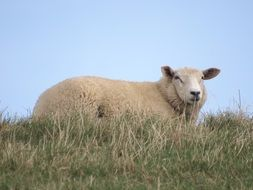 sheep among grass on the north sea coast