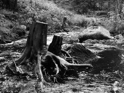 black and white photo of tree stump with roots