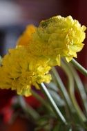 yellow ranunculus flower blossom