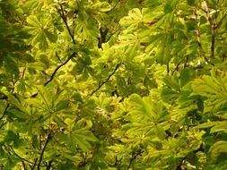 Green chestnut leaves in autumn
