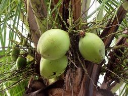 coconuts green fruits close