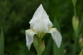 white iris in water drops close up