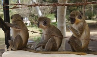 three monkeys sit behind barbed wire fence