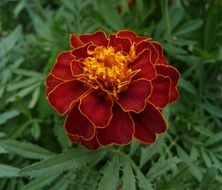 brown french marigold closeup