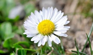 white daisy with yellow core close up